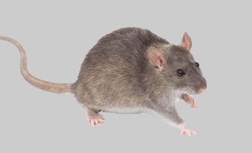 شركة-مكافحة-فئران-بالاحساء