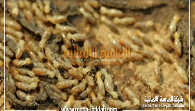 النمل-الابيض