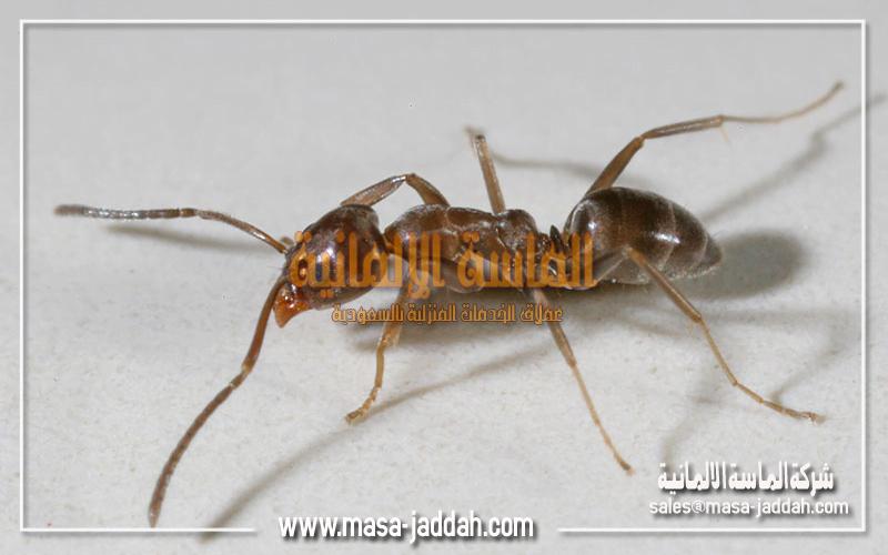 النمل الارجنتيني