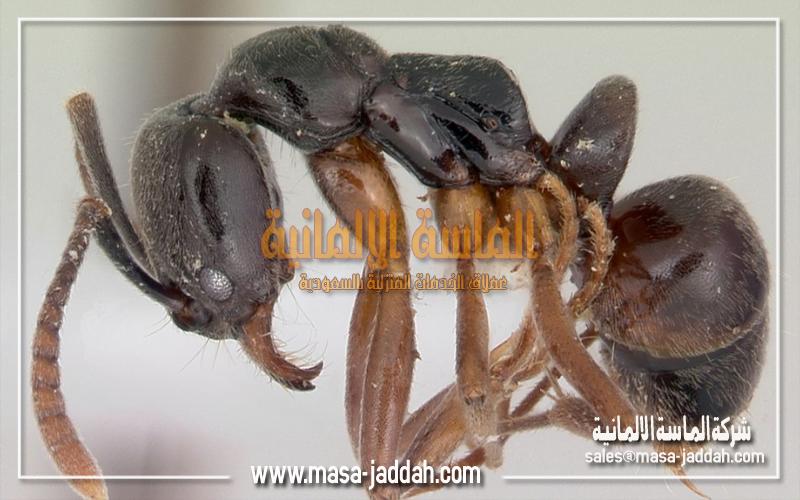 النمل الاسيوي