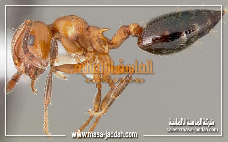 انواع النمل المنزلي وافضل طرق القضاء علية شركة الماسة الالمانية للخدمات المنزلية