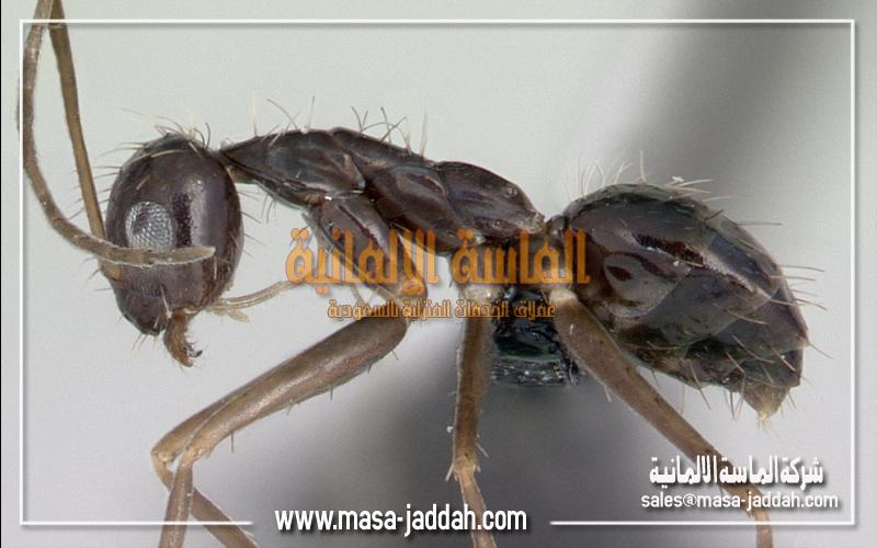 النمل المجنون