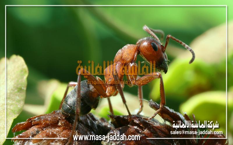 النمل الميداني